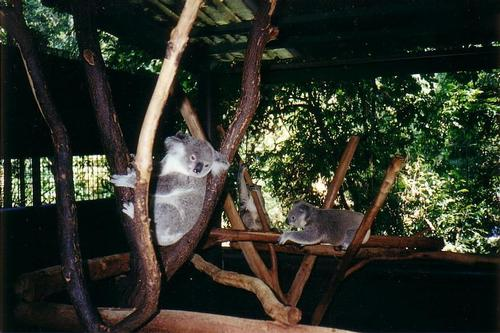 Lone Pine Koala Sanctuary in Brisbane