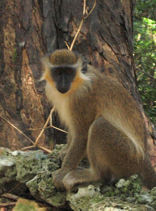 Barbados Green Monkey Foto:Postdlf