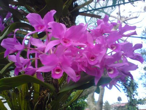 Guaria Morada orchidee is de nationale bloem van Costa Rica
