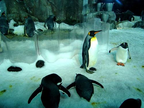Pinguins in Underwater World Kelly Tarlton's in Auckland